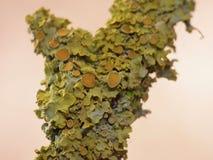 Close Up Macro of Orange Lichen Xanthoria parietina - UK. Close up of yellow / orange Xanthoria parietina, also known as common orange lichen, yellow scale stock photo