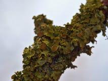 Close Up Macro of Orange Lichen Xanthoria parietina - UK. Close up of yellow / orange Xanthoria parietina, also known as common orange lichen, yellow scale stock image