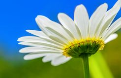 Below the daisy flower. Close up or macro photo below the daisy flower, in the background clear blue sky stock photography