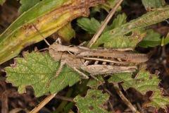 Close-up, macro photo of a brown Cricket Stock Image