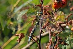 Close-up, macro photo of a Dragonfly Stock Photos