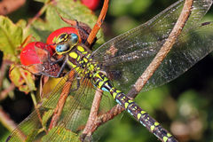 Close-up, macro photo of a Dragonfly Stock Images