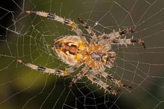 Close-up, macro photo of a spider sitting in its web.  Stock Image