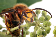Close-up, macro photo of a Wasp feeding on an Ivy flower Stock Images