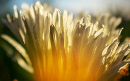 Close up  or macro photo of white Gazania flower. On sunny day stock photo