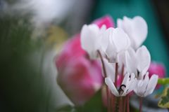 Bright white cyclamen flowers in full bloom with a colorful natural background. Close up macro photography of the delicate white  cyclamen flowers taken outside Royalty Free Stock Photos