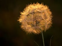 Close Up, Macro Photography, Flora, Dandelion Royalty Free Stock Photo