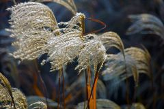 Close Up, Macro Photography, Grass Family, Frost royalty free stock photo