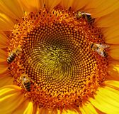 Close Up Macro Photography Yellow Sunflower Pollen With Bees Collecting Nectar Royalty Free Stock Photography