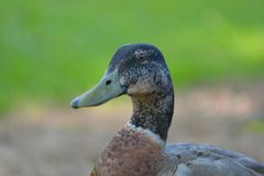 A close-up portrait of a young male mallard duck Anas platyrhynchos curiously looking into camera. Fine details of the head. royalty free stock photo