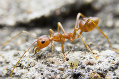 Close-up macro red ant on stone background. Stock Photo