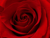 Close up macro of red rose Stock Photos
