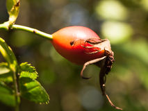 Close up macro of red rose hip ripe on branch Rosa canina. England; UK Stock Photos