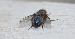 Close up macro shot of a Blowfly Green / Blue in the garden, photo taken in the United Kingdom. Close up macro lens shot of a Blowfly Green / Blue in the garden stock image