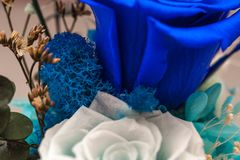 Close up of blue rose royalty free stock photos