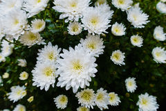 Close-up macro shot of a bunch of white daises on a cloudy day at Kalemegdan park in Belgrade Stock Image