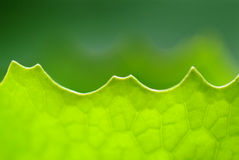 Close up macro shot  leaf Royalty Free Stock Image