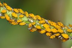 Colony of yellow aphids on new plant growth Royalty Free Stock Photography