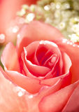 A close up macro shot of a pink rose Stock Photography