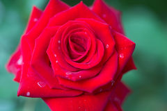 A close up macro shot of a red rose Stock Photography