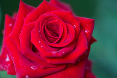 A close up macro shot of a red rose Royalty Free Stock Image