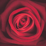 A close up macro shot of red rose, vintage tone Stock Photography