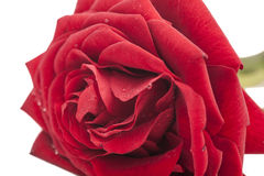 Close up macro shot of red rose Royalty Free Stock Photography