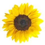 Close up macro shot of sunflower Royalty Free Stock Photo