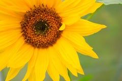 Close-up macro shot a sunflower. Royalty Free Stock Photos