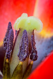 Close-up macro shot of tulip Stock Photo