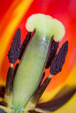 Close-up macro shot of tulip Stock Photo