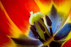 Close-up macro shot of tulip Royalty Free Stock Photography