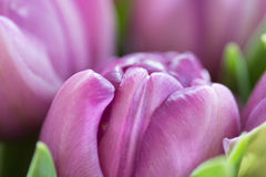Close-up macro shot of tulip Stock Photos