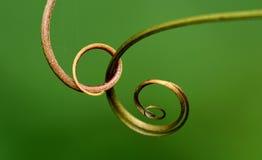Close up macro shot vine on plant Royalty Free Stock Photo