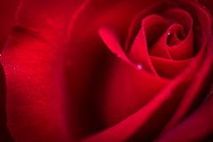 Close up macro shot of a wet red rose. A close up natural macro shot of a wet ed rose Stock Photo