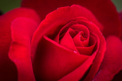 Close up macro shot of a wet red rose Royalty Free Stock Photos
