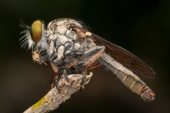 Free Close Up Macro Shots Rober Fly Eating Small Insects. Royalty Free Stock Photography - 160791547