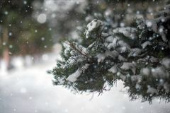 Close-up macro of snow covered vivid green coloured fir-tree branch with green needles during Christmas time. Blurred, soft focuse. Snow on the leaves of the Royalty Free Stock Images
