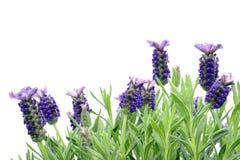 Close-up macro of Spanish lavender Lavandula stoechas stock photography