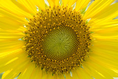 Sunflower. Close up macro sun flower Stock Photos