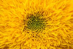 Close up macro sunflower core background yellow. Nature flowers flora Stock Photos