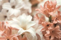 Close up macro tender beautiful hyacinth flower white pink powder color. traditional easter wedding flowers, flower royalty free stock photography