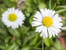 Close up macro two small daisy Bellis perennis flower white petal with green leaves and grass bokeh background. Selective focus, spring seasonal backdrop stock photos