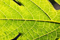 Green leaf veins macro. Close up macro view of bright green leaf with veins and cells visible royalty free stock images