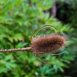 Close up macro view of a dried teasel flower stock photos