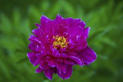 Close up macro view of peony flower ready for blooming on background.  Beautiful nature backgrounds stock photos