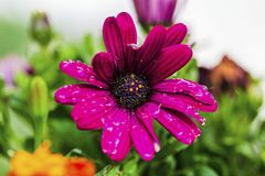 Close up macro view of purple flower isolated. Beautiful nature backgrounds.  royalty free stock image