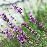 Close-up macro view to lavender flowers. In a green field Stock Photos