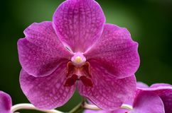 Close up macro of violet orchid flower. Singapore - July 2, 2016: A macro shot of a beautiful violet light purple orchid flower. The flower was on display at Royalty Free Stock Photography
