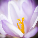 Close -up, macro of violet small crocus flower Stock Image